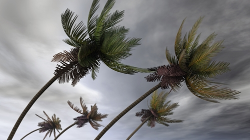 A picture showing how the palm trees bend in the event of strong winds and a hurricane.
